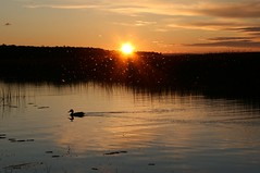 Drummond Island 08 323 (kg.hill50) Tags: sunset reflection nature island duck michigan greatlakes upperpeninsula huron drummond