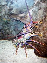 Adventure Aquarium - Spiny Lobster (fkalltheway) Tags: newjersey camden lobster spinylobster adventureaquarium caribbeancurrents fkalltheway adventurezonea