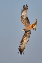 yellow-billed kite (michaelrosenbaum) Tags: africa bird nature wildlife flight raptor botswana avian yellowbilledkite avianexcellence canonmarkiii