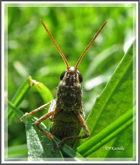 What's wrong with you??? (forestsoul) Tags: animals slovenia grasshopper naturesfinest blueribbonwinner supershot bej abigfave anawesomeshot theunforgettablepictures macromarvels excapturemacro damniwishidtakenthat fantasticinsect freedomhawk forestsoul