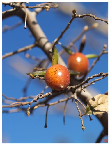 Little Persimmon 081219 #03
