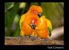 Sun Conures - Jurong Bird Park, Singapore (Souvik_Prometure) Tags: singapore jurongbirdpark jurong soe birdpark sunconures flickrsbest platinumphoto aplusphoto overtheexcellence souvikbhattacharya