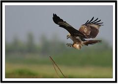 Black Kite (Milvus migrans) (Z.Faisal) Tags: kite black bird aves milvusmigrans blackkite bangladesh avian bangla faisal zamir milvus migrans moulavibazar beel pakhi baikka baikkabeel zamiruddin vosplusbellesphotos zfaisal