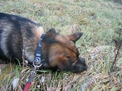 IMG_2906 (Niina J.) Tags: eläimet koirat osmo