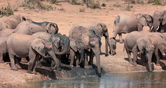 Elephant herds at waterhole