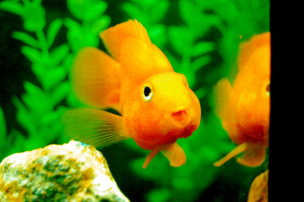The world 39 s best photos of orange and parrotfish flickr for Parrot fish freshwater