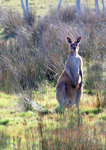 roos in south west rocks