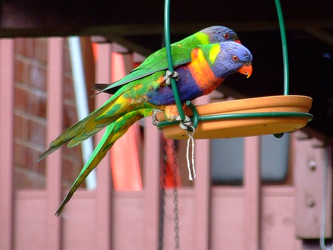 hungry lorikeets
