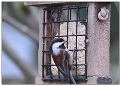 Chickadee Feeding on Suet ~ (Project 365/3)