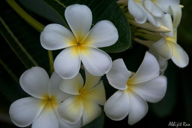 Flowers, Goa