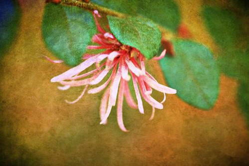 fringe shrub