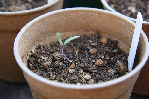 how to keep tomato seedling