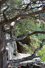 Eastern Red-Cedar (pchgorman) Tags: trees wisconsin may cupressaceae juniperus columbiacounty easternredcedar juniperusvirginiana awesometrees taxonomy:binomial=juniperusvirginiana gibraltarrockstatenaturalarea