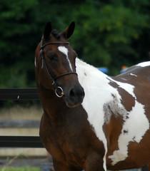 pinto mare (Martina V.) Tags: horse inspection rheinland pfalz saar warmblood rpsi keurings