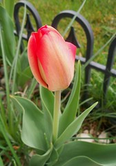 Single Tulip (reeds_person) Tags: plant flower tulip bud flowerbud