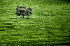 Arbol solitario (Montefrio Granada) (dleiva) Tags: andaluca andalucia granada domingo hdr leiva montefrio dleiva espaaandalusiaspainpaisajelandscapearboltreetrigotrigalverdecampoprimavera
