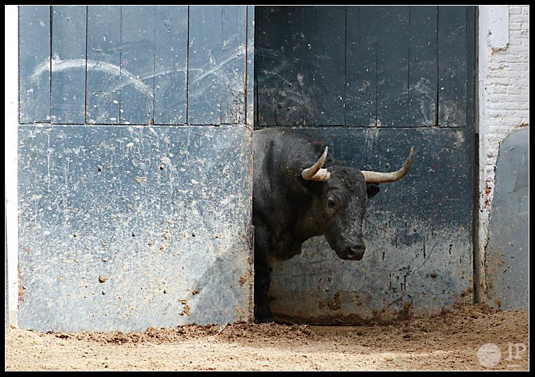 toro-de-Jose-Escolar-4