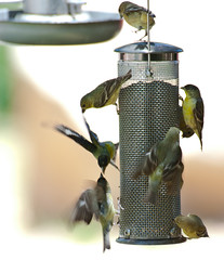 Birds Fight at the Seed Feeder