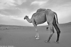 (Rayan al.sohaimi .|.  ) Tags: bw texture landscape sand waves desert dunes camel camels saudiarabia             nikond90