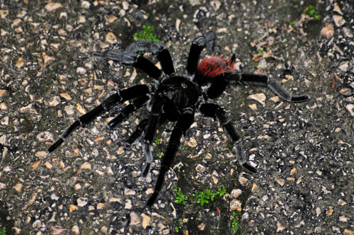 Red Rumped Tarantula