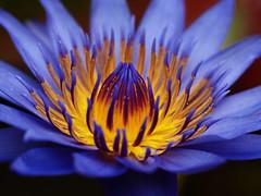 Teratai (stboed) Tags: flower lotus bsd teratai naturesfinest tangerang dcr250 olympuse500 waterliliy banten mywinners anawesomeshot impressedbeauty superbmasterpiece naturefinest diamondclassphotographer megashot betterthangood