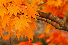 (avirus) Tags: autumn red orange color tree fall leaves leaf maple bokeh ostrellina