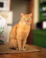 Kitka (thecaveofthedead) Tags: orange slr film cat mediumformat fur table fuji pentax bokeh whiskers donovan 67 narrowdepthoffield 105mm f24 kitka hurdygurdyman 6x7cm smoothbokeh 1125sec