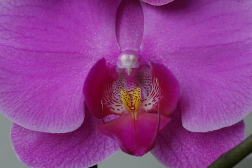 Orchid Phaleanopsis - IMGP9151