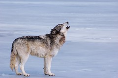 The lone wolf (tammyjq41) Tags: ice wolf searchthebest tjs wolfpark tjd specanimal impressedbeauty