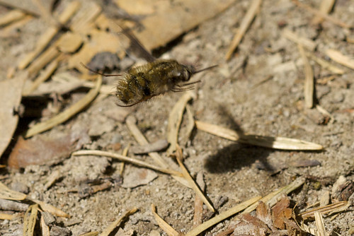 Hairy Hover Bug Hovering
