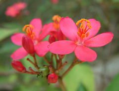 red bloom (t4n14_phei) Tags: red plant flower macro nature beautiful pretty stamen bloom bunga indah cantik bagus tanaman redbloom aplusphoto benangsari