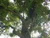 96.11.16竹崎鄉光華村茄苳風景區內的茄苳老樹DSCN3194