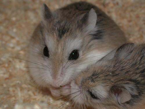 'My food!' - 'No, my food!' by roborovski hamsters.