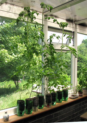 The tomato plants