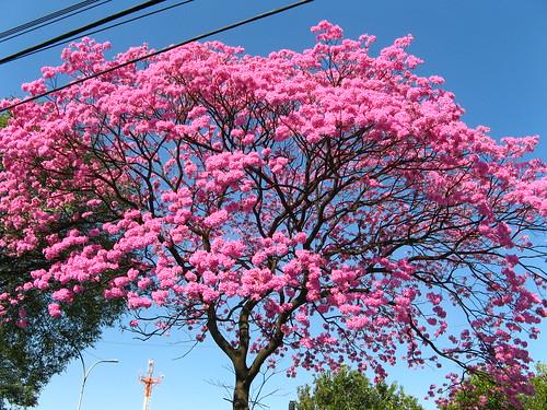 ype roxo (tabebuia impetiginosa) brazilian walnut tree - trumpette  tree- av radial leste, São Paulo Brasil