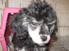 ANGRIEST POODLE IN THE WORLD