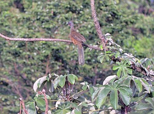 Ortalis motmot columbiana