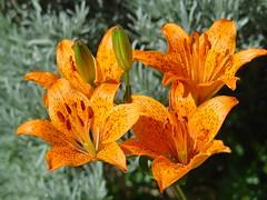 DSC09505 (Angelo Losanno) Tags: life flowers light flower macro closeup casa lily low angelo fiore beautifull giglio bello alfacentauri pianteefioriefunghi angelolosanno losanno