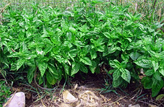Basil plants growing in an Alabama garden