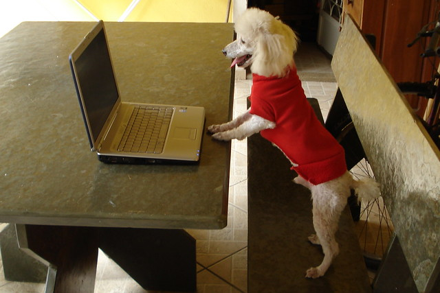 dog using a computer poodle