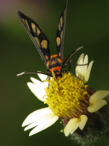 Day flying moth (Syntomis huebneri)