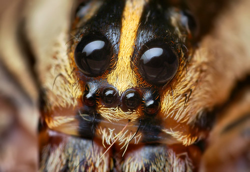 Eyes of a Female Rabid Wolf Spider (Rabidosa rabida)