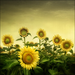 Bulgarian Sunflowers (ilina s) Tags: flowers light sky nature leaves sunshine yellow rural canon square happy daylight warm day bright blossom sunny nopeople growth single sunflowers positive cheerful optimism darkclouds freshness originality 30d uniqueness infinestyle thetempleofaphrodite alwaysexc
