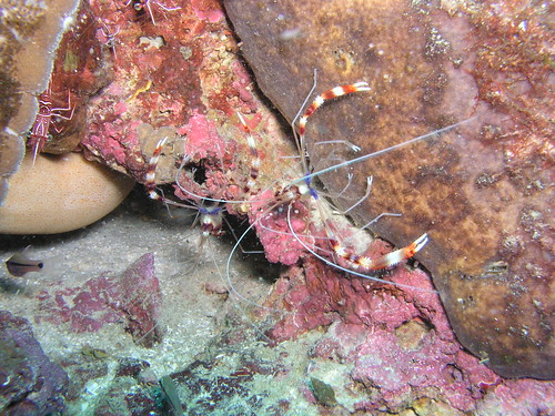 Banded shrimp by John & Pam Owens.