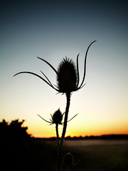 Last moment before night (Jerome Mercier) Tags: leica blue black flower fleur colors silhouette yellow night sunrise soir nuit coucherdesoleil chardon leicadigilux3 jeromemercier jeromemercierphoto jmbook bookjm