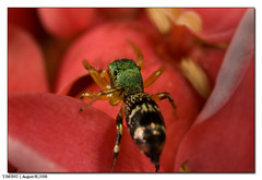 Spider on a flower_IMG_0761 (yimING_) Tags: macro nature spider singapore jumpingspider mt24ex choachukang golddragon canoneos450d canonmpe65 garyfongpuffer excapturemacro
