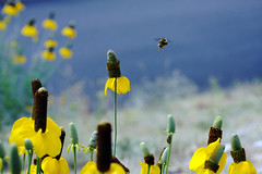 Just buzzin' around! (rockymountainroz) Tags: bumblebee wildflowers estesparkcolorado
