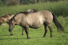 Biggest mum in the herd (Astrid van Wesenbeeck photography) Tags: horses netherlands animal animals herd wildhorses paarden behaviour oostvaardersplassen flevopolder konikhorses konikpaarden
