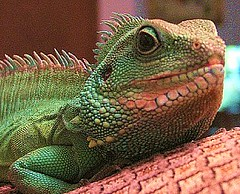"""Stanley (luckyonthecliff, Kathy """"Cody"""" Robinson) Tags: water zoo big dragon chinese fave reptiles abigfave"""