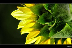 SUNFLOWER (PHOTOPHOB) Tags: flowers autumn summer plants plant flores flower color macro nature fleur beautiful beauty fleurs petals spring colorful flickr estate blossom sommer herbst natur flor pflanze pflanzen blumen zomer sunflowers verano bloom otoo blomma vero t blume fiore blomst outono tournesol girasol frhling bloem sonnenblume jesie floro helianthus kwiat sonnenblumen lato lto sonbahar blueribbonwinner annuus helianthusannuus kvt blomman efterr supershot blomsten golddragon abigfave platinumphoto aplusphoto theunforgettablepictures goldstaraward photophob sunfloro wonderfulworldofflowers